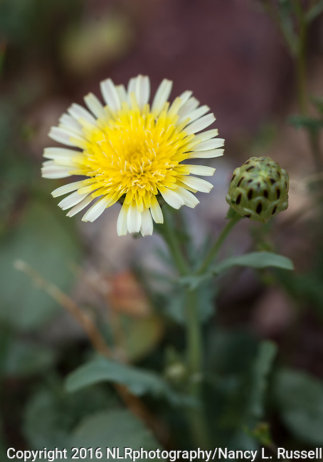 Desert Dandelion blooming in Death Valley