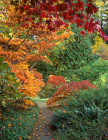 Kubota Garden, Seattle, WA<br /> A variety of Japanese Maples in autumn colors border a secluded pathway in the garden