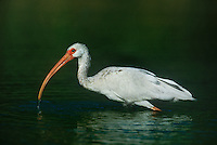 550500016 a juvenile white ibis eudocimus alba forages for waterborne prey in a small pond on a cattle ranch in the rio grande valley of south texas united states