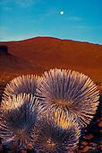 Endangered and rare Mauna Kea silversword plant on the slopes of Mauna Kea. Latin name: Argyroxiphius s. sandwicense. Hawaiian name; ahinaahina