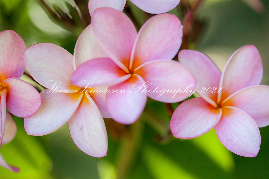 Frangipani Flowers<br />