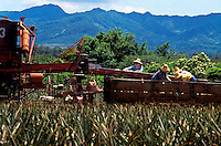 Pineapple fields being tended to outside of Wahiawa, Oahu
