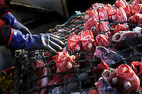 Newly caught Red fish is separated from the net by the crew of a Portugeese trawler. No irregularities were found. Coastguard vessel KV Svalbard patrols the northermost waters of Norway, including around the islands that she is named after. The main task is inspecting fishing boats, but she also performs search and rescue missions, and environmental monitoring. &copy; Fredrik Naumann
