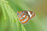 Orange Lacewing (Cethosia penthesilea), Queensland, Australia
