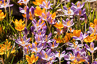 Purple and yellow crocuses blooming in bright spring sunshine.