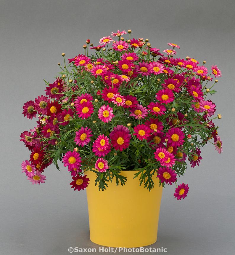 Argyranthemum Angelic Burgundy; Danziger, California Spring Trials 2014