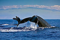 humpback whales, Megaptera novaeangliae, fluke-up dive, Kohala Mountain in background, Hawaii, USA, Pacific Ocean