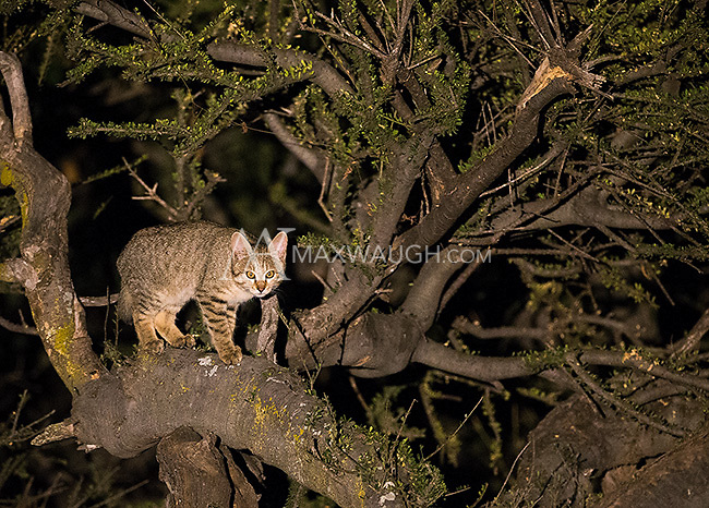 We spied three African wildcats during a night drive at Mashatu.