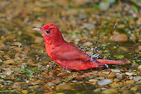 580980049 a wild male summer tanager pitanga rubra bathes in a small pond on south padre island cameron county texas united states