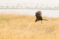 Marsh harrier (Circus aeruginosus) quartering reedbeds. Poole Harbour, Dorset, UK.
