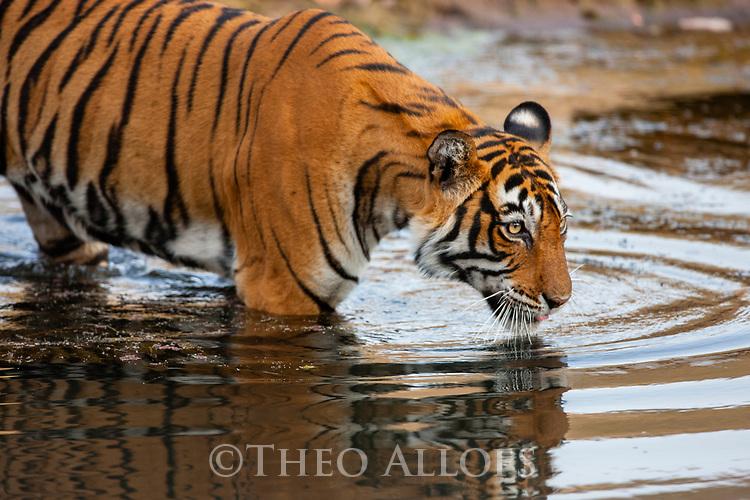 India, Rajasthan, Ranthambhore National Park, Bengal tigress walking into water, side view