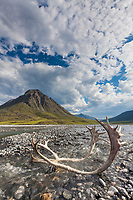 Caribou antlers in the Marsh Fork of the Canning river, Arctic National Wildlife Refuge, Brooks range mountains, Alaska.