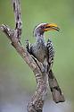 Yellow-billed hornbill (Tockus leucomelas) on branch, Okavango Delta, Moremi Game Reserve, Botswana