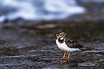 Ruddy Turnstone on the coastline, Bird Island, Algoa Bay, Eastern Cape, South Africa