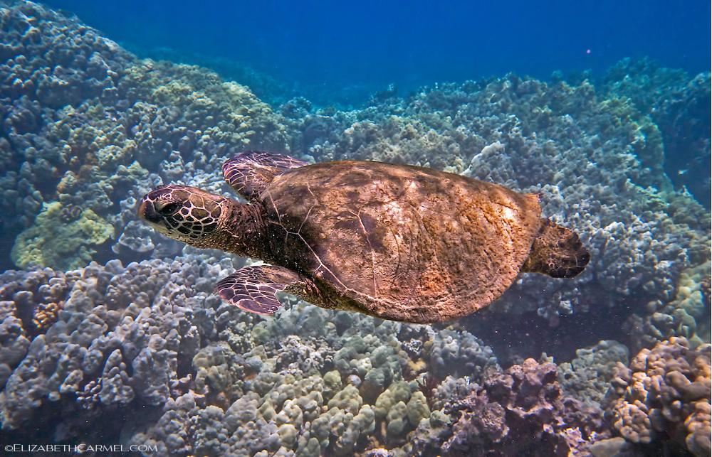 Kona Sea Turtle