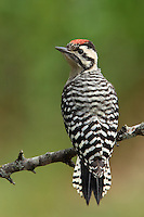 The Ladder-backed Woodpecker primarily eats insects, such as the wood-boring beetle larvae, caterpillars and ants. Various cacti fruit are also consumed..