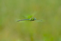 339550005 a wild male malachite darner remartinia luteipennis flies over a small stream near empire creek las cienegas natural area santa cruz county arizona united states