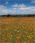 Indian Blankets and Coreopsis make up this colorful image of Texas Wildflowers in the Hill Country on a lovely spring afternoon.