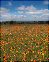 Along a bend in the road along 962 near Cypress Mill, I stopped to photograph this field of coreopsis and firewheels, two of my favorite wildflowers of Texas because of their vibrant colors.