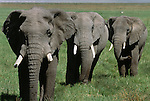 African elephants, Ngorongoro Conservation Area, Tanzania
