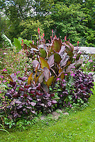 Purple garden: Canna King Humbert, Perilla frutescens, Cleome, tropical garden, Musa bananas, purple dark foliage amid green relief. Garden of Doug Cosh, Milford, PA