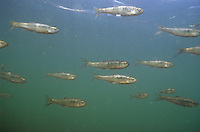 School of Common Shiner<br /> <br /> ENGBRETSON UNDERWATER PHOTO