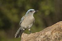 Mexican Jay, Aphelocoma ultramarina, young, Madera Canyon, Arizona, USA, May 2005