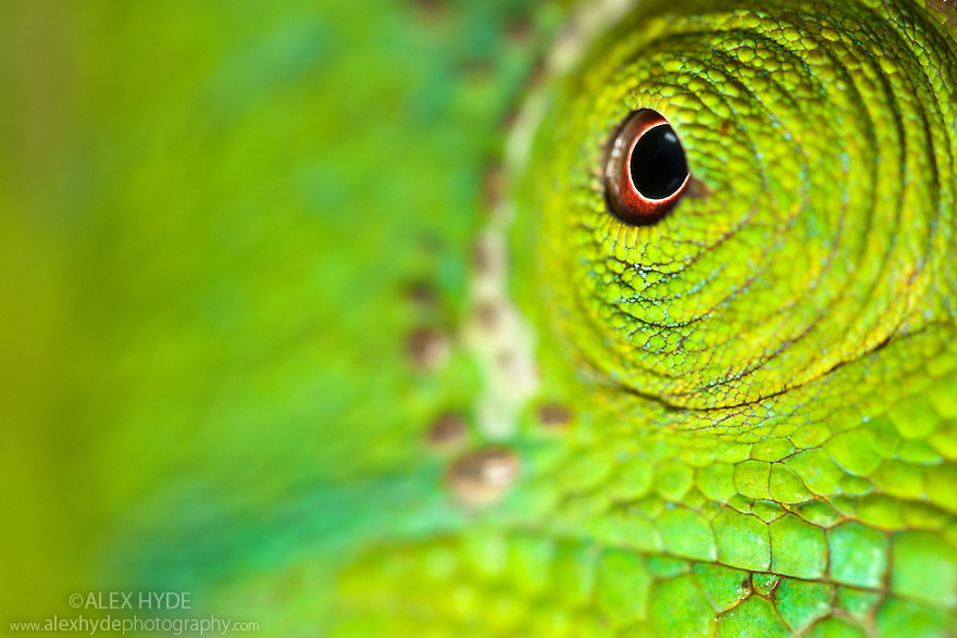 Parson's Chameleon {Calumma Parsonii} close-up showing eye. Tropical rainforest, Masoala Peninsula National Park, north east Madagascar.
