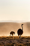 Ostrich in morning mist, Struthio camelus, Mountain Zebra National Park, Eastern Cape, South Africa