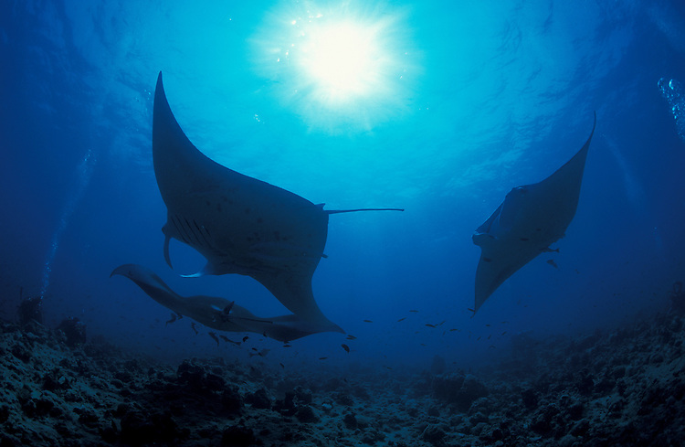 Giant manta ray (Manta birostris), image shows 3 circling at a cleaning station. Species is IUCN listed as vulnerable, South Ari Atoll, Maldives