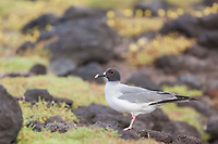 Swallow-tailed gull, South Plaxa Island, Galapagos Islands, Ecuador