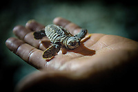 Namotu Island Resort/Fiji (Monday, September 9, 2013)  Most of the 125 baby Hawksbill Sea Turtles that hatched on the island overnight were released into the ocean  while a small number were handed over to a Turtle Nursery  which will increase their chance of survival. Photo: joliphotos.com