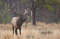 Trophy bull elk during autumn rut