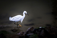 A Snowy egret, with its neck extended in a delicate S shape, displays one of its yellow feet, or 'golden slippers', along the rocky shore at San Leandro Marina on San Francisco Bay.