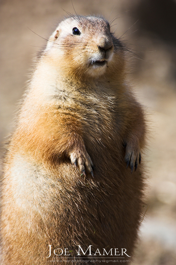 Black tailed prairie dog (Cynomys ludovicianus), is a rodent of the family sciuridae found in the Great Plains of North America.
