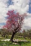T-065 Judas Tree in Tivon
