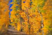 North Lake Road Aspens - Fall Color - Lensbaby.
