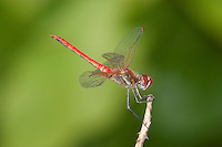 Red-veined Darter Dragonfly male (Sympetrum fonscolombii), Africa.
