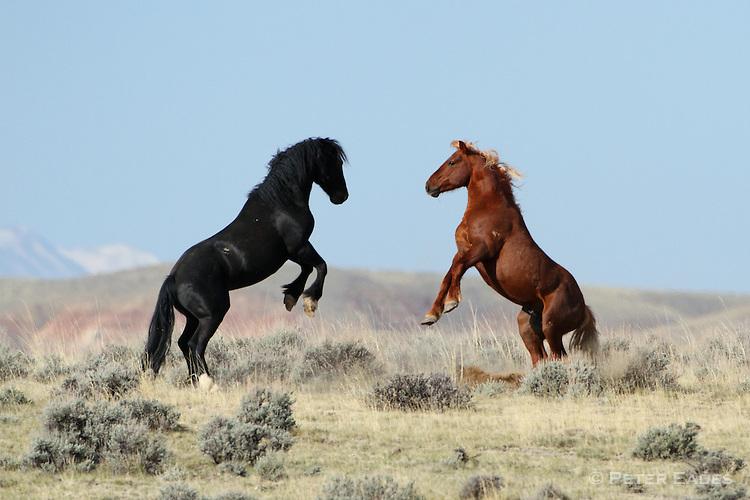 Wild Mustang Stallions Fighting Peter Eades Wildlife