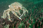 La Jolla Underwater Ecological Reserve, La Jolla, California; a Sheep Crab (Loxorhynchus grandis) moves across a large bed of Eccentric Sand Dollars (Dendraster excentricus) on the sandy bottom