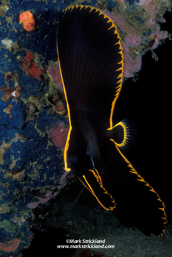 This juvenile Pinnate Spadefish, Platax pinnatus, displays the unusual body shape and striking coloration typical of its age. Adults are more disc-shaped and less colorful, being mostly silver with several black bars.  Lembeh Strait, N. Sulawesi, Celebes Sea, Indonesia