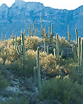 Morning light on the saquaro cactus in Honeybee city park in Arizona