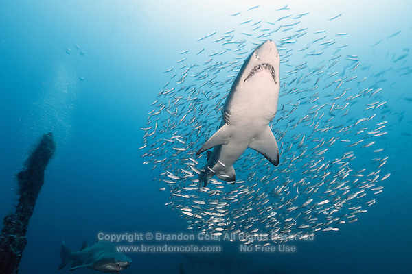 TP0747-D. Sand Tiger Shark (Carcharias taurus) ascending through a cloud of baitfish. This shark also known as Gray Nurse Shark and Ragged-tooth shark. Previously classified as Eugomphodus taurus and Odontaspis taurus. North Carolina, USA, Atlantic Ocean.<br /> Photo Copyright &copy; Brandon Cole. All rights reserved worldwide.  www.brandoncole.com