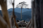 Photo shows the lone black pine standing where once was a grove of 6,200 pines on the waterfront of Rikuzentakata, Iwate Prefecture, Japan on 24 Feb 2012. .Photographer: Robert Gilhooly