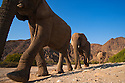 Namibia;  Namib Desert, Skeleton Coast, Hoanib River, desert elephants (Loxodonta africana) walking in dry river bed, low angle shot