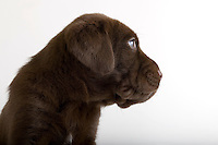 Stock photo of cute puppy dog with big blue sad eyes in studio white background. Mixed breed shar pei, chocolate lab.