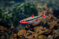 Duskystripe Shiner<br />