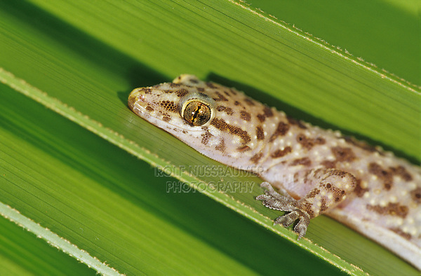 Mediterranean Gecko, Hemidactylus turcicus, young on palm frond, Willacy County, Rio Grande Valley, Texas, USA, June 2006