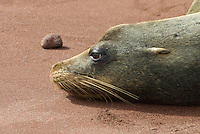 Sea lion resting on sand beach in Galapagos
