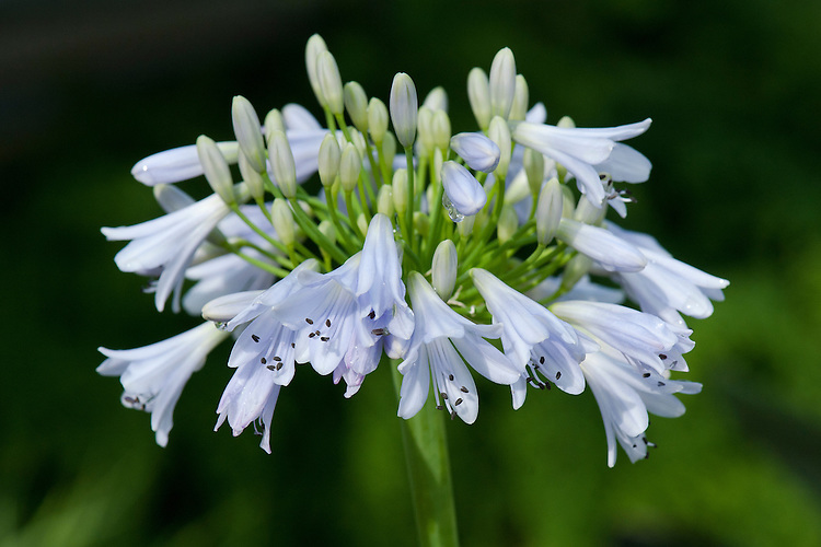 Agapanthus 'Blue Moon', early August.